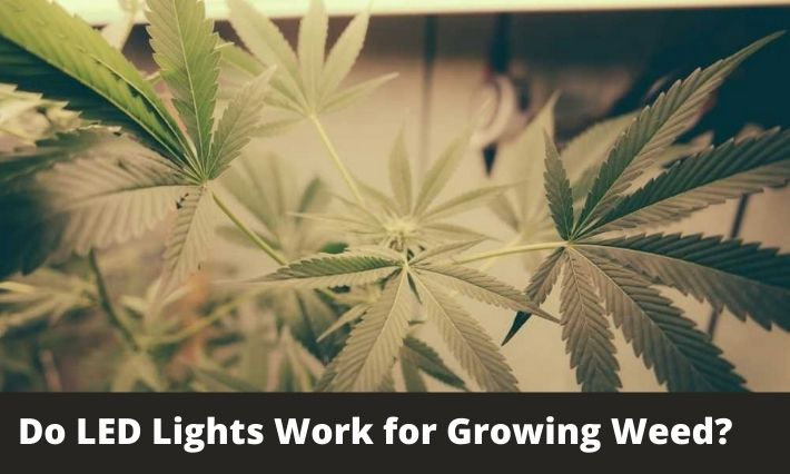 Do LED Lights Work for Growing Weed?
