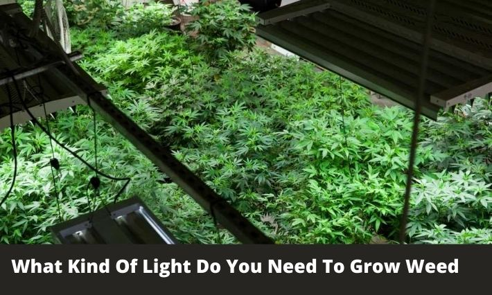 What Kind Of Light Do You Need To Grow Weed