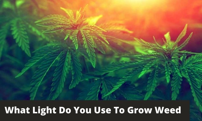 What Light Do You Use To Grow Weed