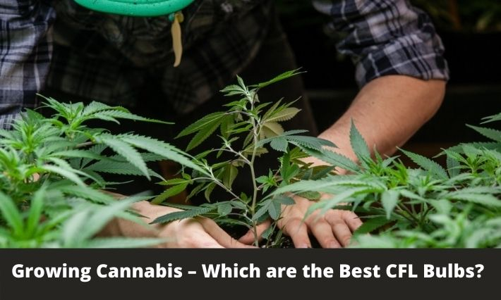 Growing Cannabis – Which are the Best CFL Bulbs?