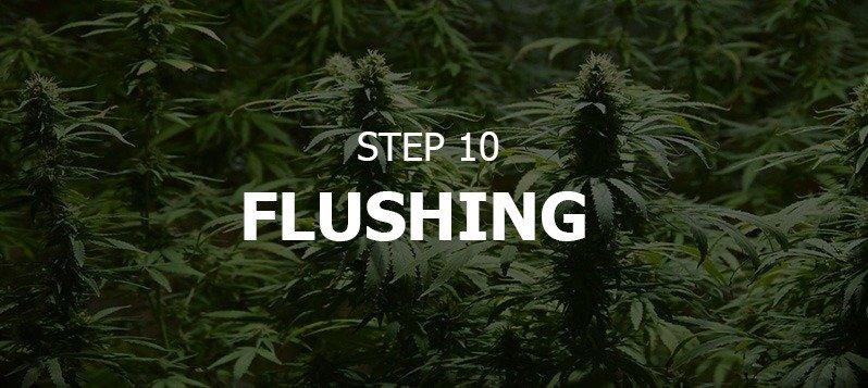How To Grow Big Buds Indoors - GreenBudGuru