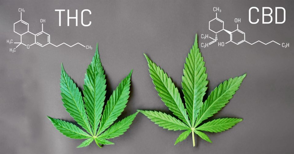 Difference Between THC and CBD Things A Budtender Should Know