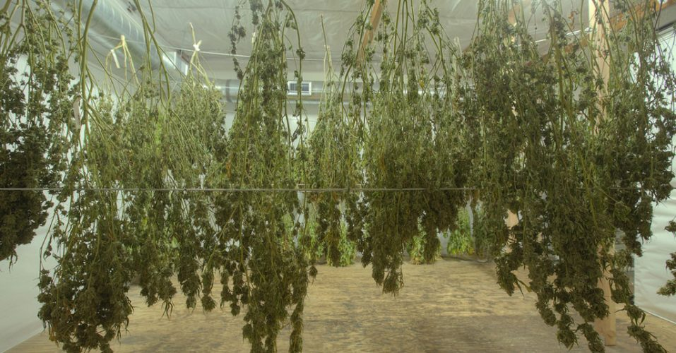 Drying How To Harvest Weed Step By Step