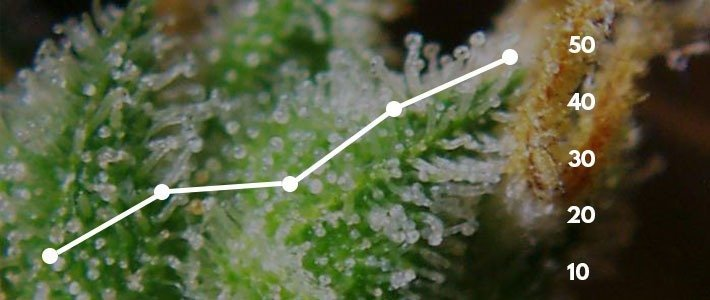 Increase Trichome Production