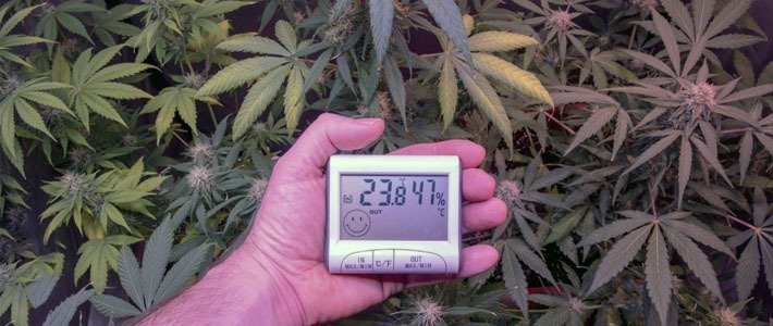Humidity and Temperature Increase Trichome Production