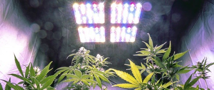 Lighting Increase Trichome Production