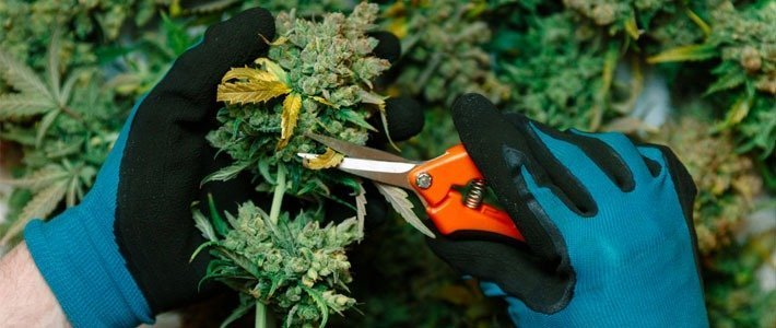 Tools to harvest weed