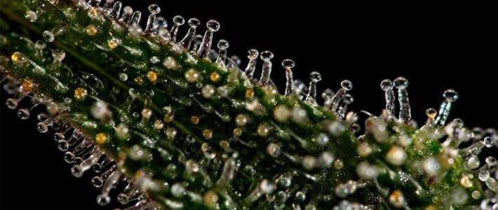 What is a Trichome Increase Trichome Production