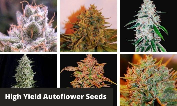 High Yield Autoflower Seeds