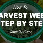 How To Harvest Weed Step By Step
