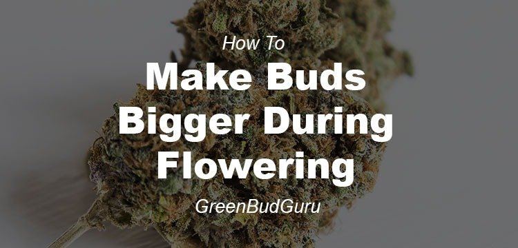 How To Make Buds Bigger During Flowering - GreenBudGuru
