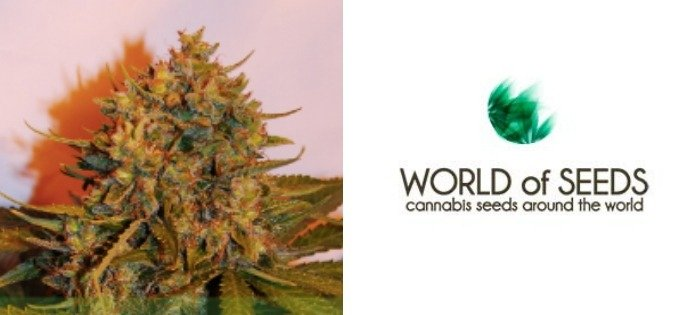 Top 10 High Yield Autoflower Seeds - GreenBudGuru