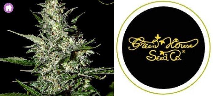 super critical high yield autoflower strain