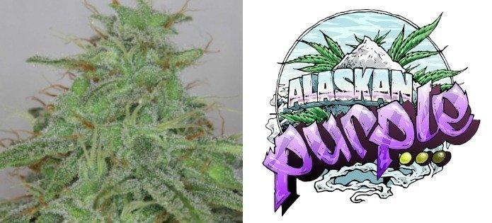 alaskan-purple-highest-yielding-indoor-strains