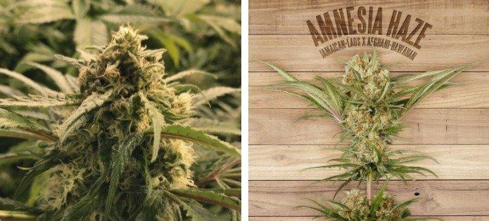 amnesia-haze-highest-yielding-indoor-strain