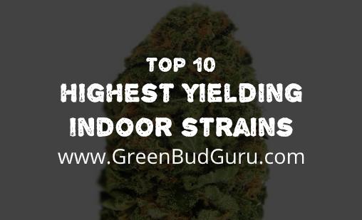 Highest Yielding Indoor Strain