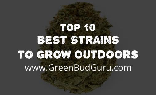 Strains to Grow Outdoors