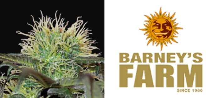bad azz kush high yielding indica strains