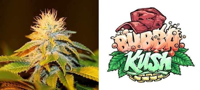 bubba-kush-purple-most-popular-indica-strains