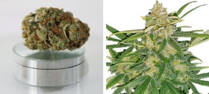 critical-mass-most-popular-indica-strains