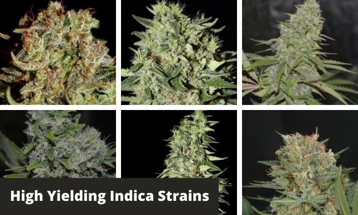 high yielding indica strains