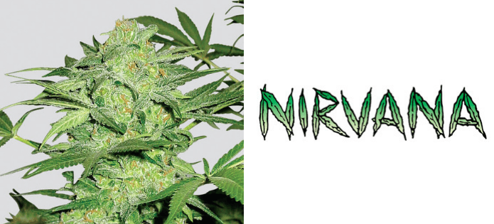northern-lights-most-popular-indica-strains