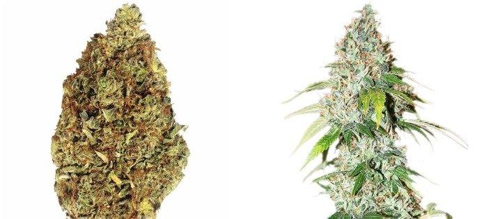 og-kush-most-popular-indica-strains