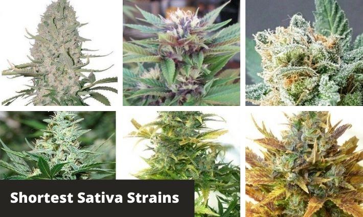 shortest sativa strains