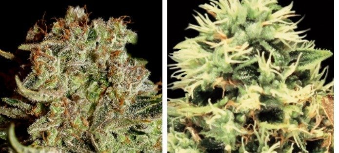 super bud high yielding indica strains