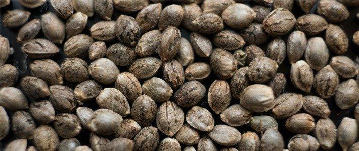 Seed Quality Sensi Seeds Bank Revew