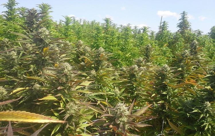 Hiding Marijuana
