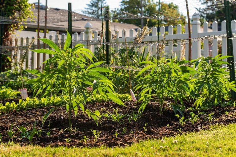 Garden of Cannabis Plant