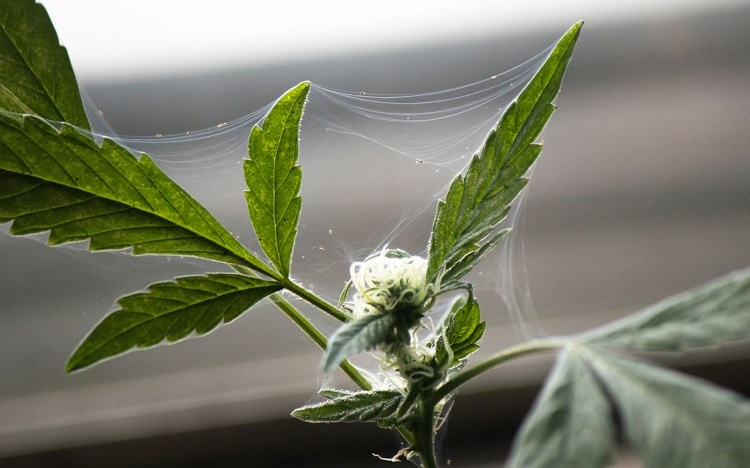 Spider Mites On Cannabis