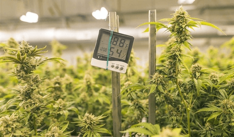 Using Thermometer For Weed