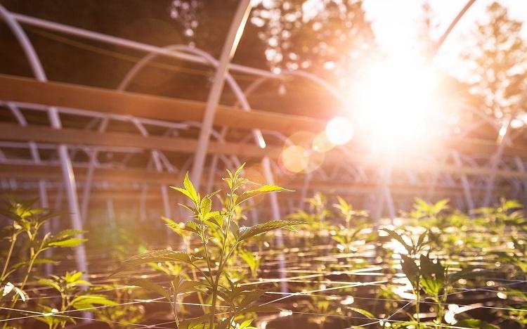 Cannabis On Sunlight