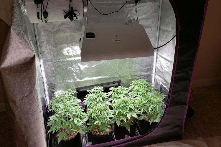 Using Grow Tent For Marijuana