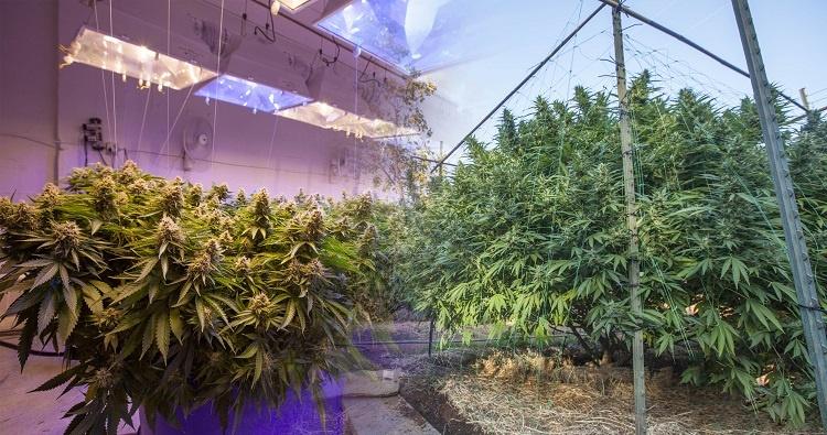 Growing Marijuana Inside Vs Outdoor