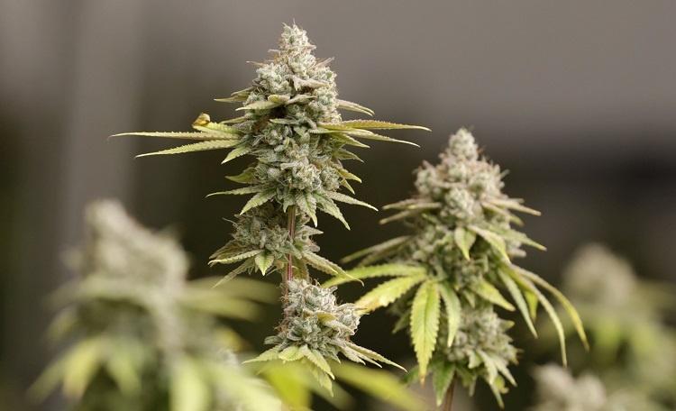 Mid May Marijuana