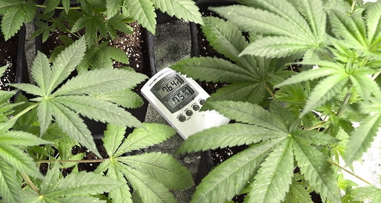 Thermometer In Cannabis Grow Room