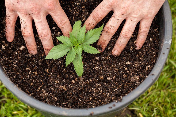 Using Soil For Cannabis