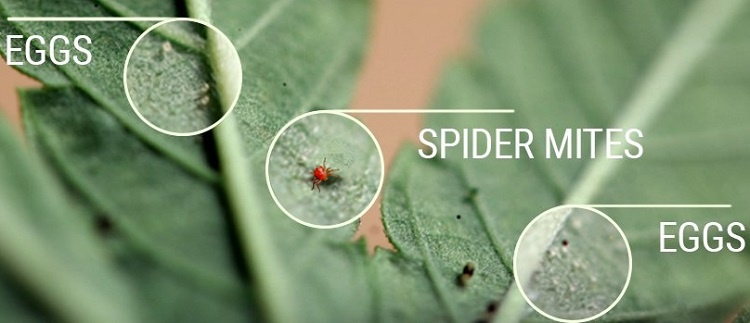 Spider Mites And Their Eggs