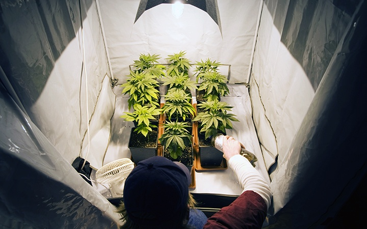 Marijuana Plants Tending