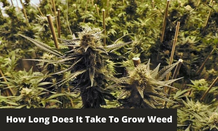 how long does it take to grow weed