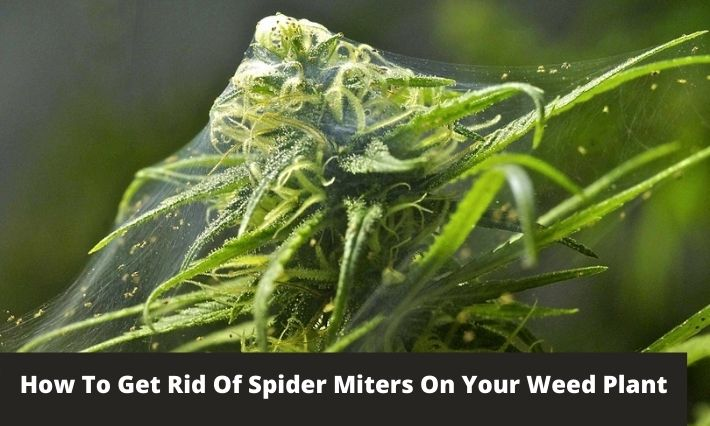 how to get rid of spider miters on your weed plant