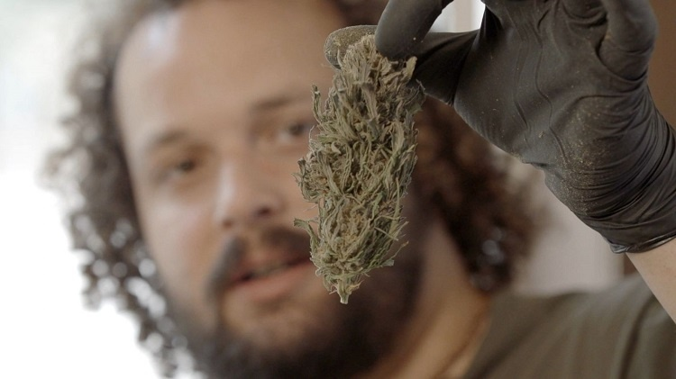 Man Holding Cannabis Bud