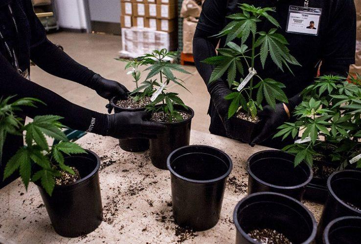 Changing Marijuana Soil
