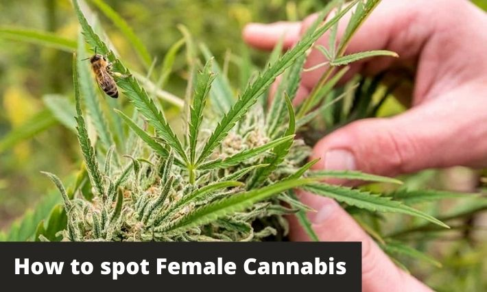 how to spot female cannabis