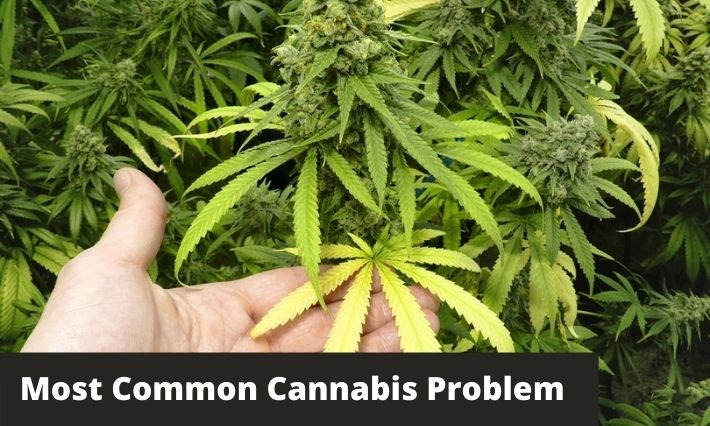most common cannabis problem