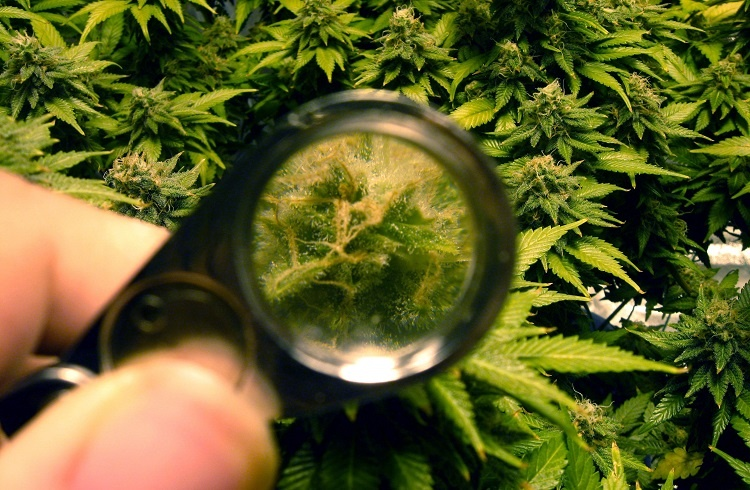 Using Magnifier for Trichomes