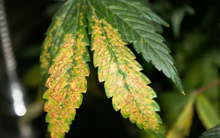 Cannabis MG Deficiency